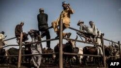 Des éleveurs Hausa-Fulani et des acheteurs au marché aux bestiaux de Kara à Lagos, au Nigeria, le 10 avril 2019.