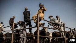 Des éleveurs Hausa-Fulani et des acheteurs de bétail attendent les transactions de bétail alors qu'ils étaient assis sur une clôture métallique au marché aux bestiaux de Kara à Lagos, au Nigeria, le 10 avril 2019.