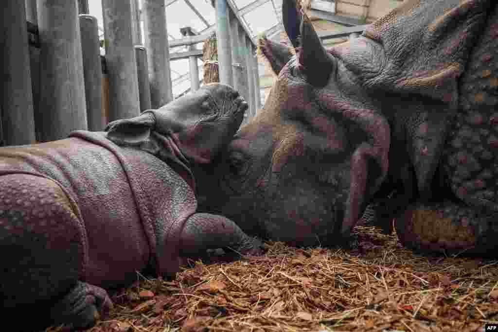 Young female Indian Rhinocero plays with its mother named Henna, inside their internal enclosure, at The Beauval Zoo in Saint-Aignan-sur-Cher, central France, Sept. 2, 2019.