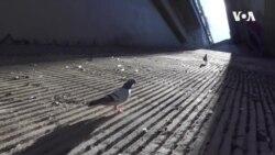 VOA英语视频: 以鸽子为师 研发城市无人送货飞机