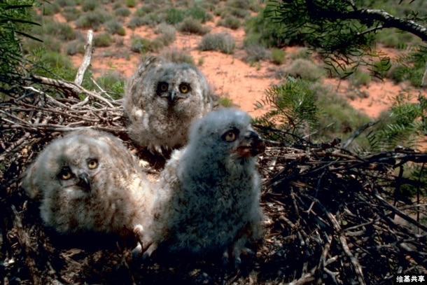 Great horned owl chicks sit in their nest