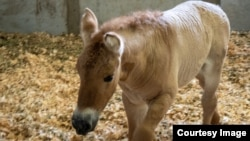 Kurt looks and acts like any other baby horse. But the Przewalski's horse differs from every other baby horse in the world in a major way: Kurt is a clone. (Photo courtesy of ViaGen Pets & Equine)