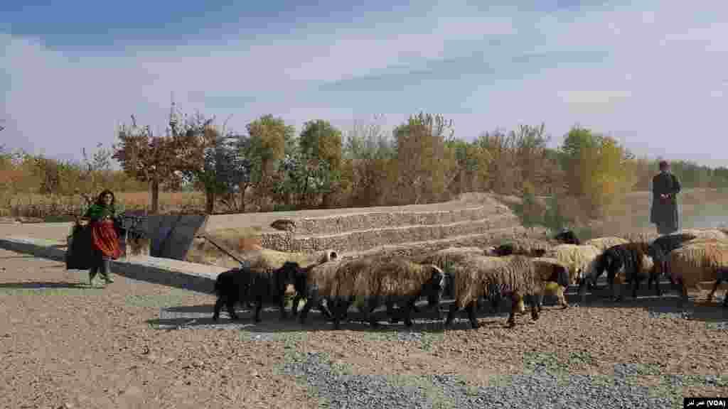 دخترچوپان در حال هدایت رمۀ گوسفند