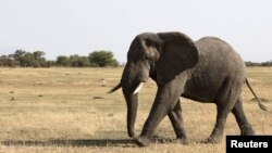 An elephant walks in Serengeti National Park, August 18, 2012.