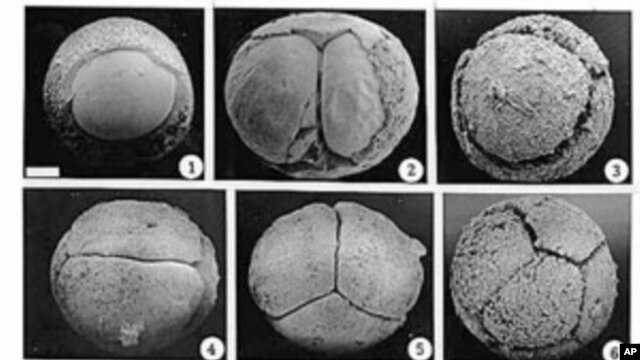 This composite of microscope images shows fossil animal embryos - discovered in China - that have opened a window on an early and poorly understood stage in the evolution of animals, February 1998 (file photo)