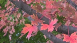 Late Autumn in Washington Area Brings Out Colorful Leaves