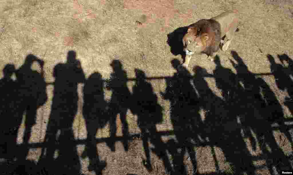 Seekor singa berjalan di kandangnya di Taman Safari Taigan di kota Belogorsk, Krimea.