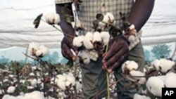 Le coton, principal source de revenus du Burkina Faso.