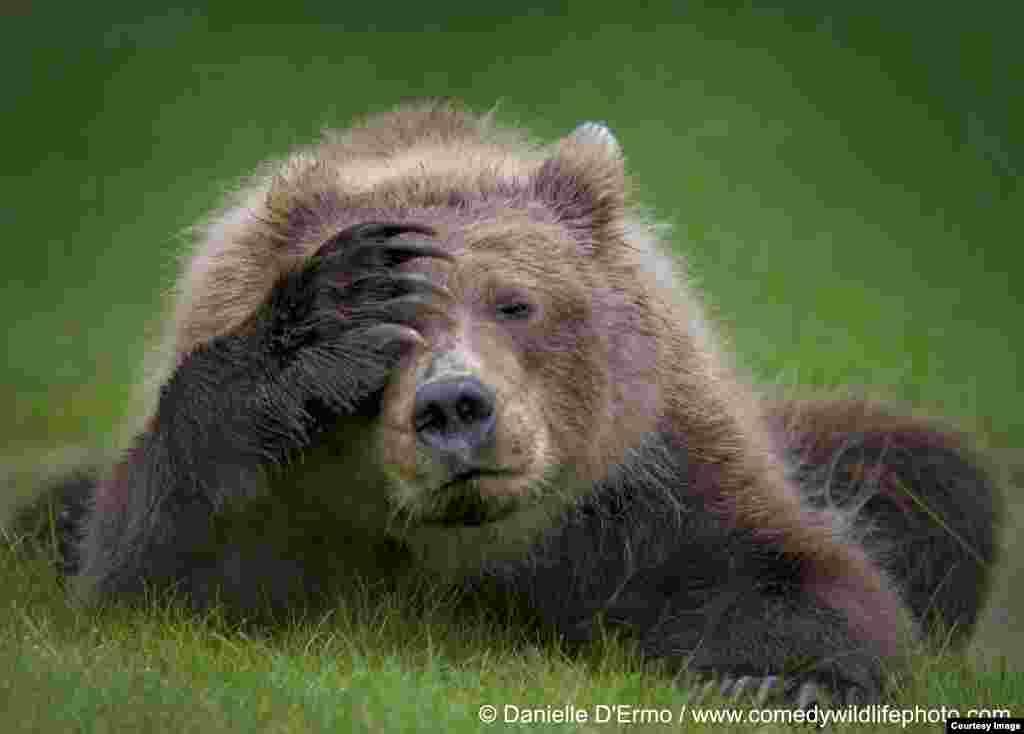 تصویرخرس خسته و گویا سردرد، از مجموعه عکسهای طنز حیات وحش عکاس: دنیل دیمرو از آلاسکا