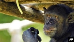 Pippo, a chimpanzee, enjoys iced food at a zoo in Rome as temperatures reached 35 degrees Celsius in July
