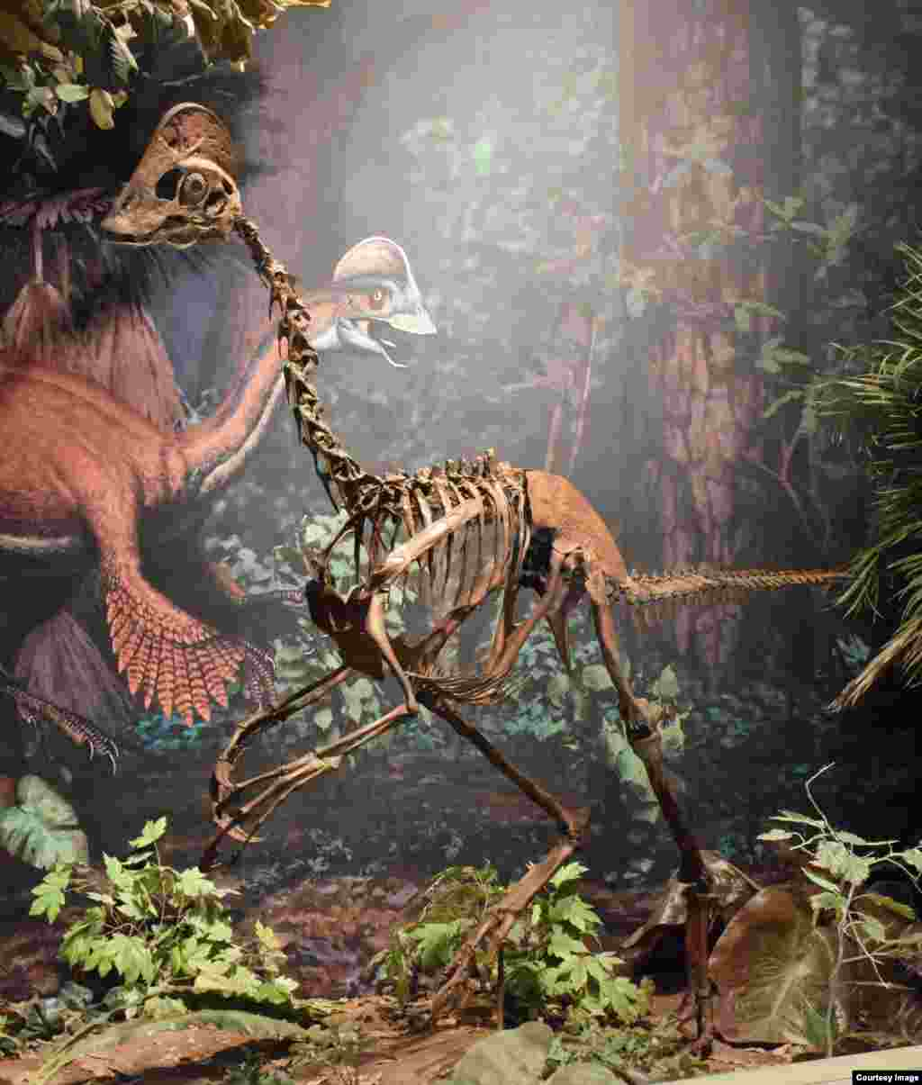 "This new dinosaur, dubbed the ""chicken from Hell,"" was a contemporary of the more famous T. rex. Three well-preserved partial Anzu wyliei skeletons were discovered in North and South Dakota, in the Hell Creek Formation. The bird-like dinosaur stood 1.5 meters high, was 3.5 meters from beak to tail, and weighed as much as 300 kilos. (Carnegie Museum of Natural History)"