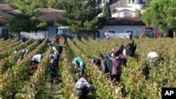 Trabajadores recogen uvas en un viñedo cerca de Bordeaux, en Francia