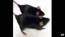 """This August 2020 photo provided by Dr. Se-Jin Lee shows a normal mouse and a """"twice-muscled"""" mouse developed at The Jackson Laboratory in Bar Harbor, Maine."""