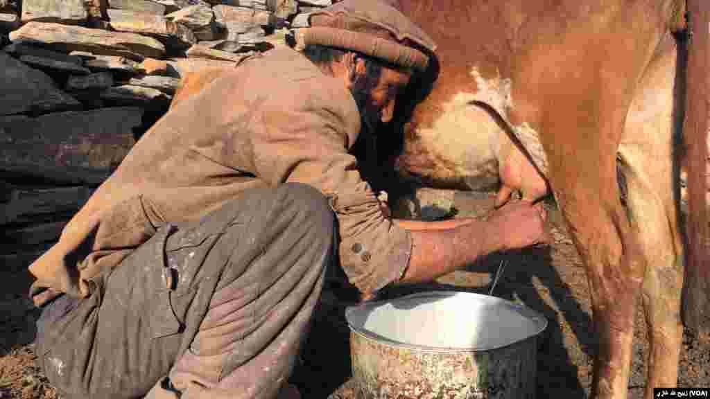 در نورستان مردها باید گاوها را بدوشند