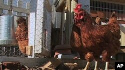 Local food proponents or 'locavores,' want to raise backyard chickens in Washington, DC.