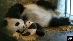 미국 워싱턴 국립동물원에서 아기 판다를 출산한 메이샹.(자료사진)