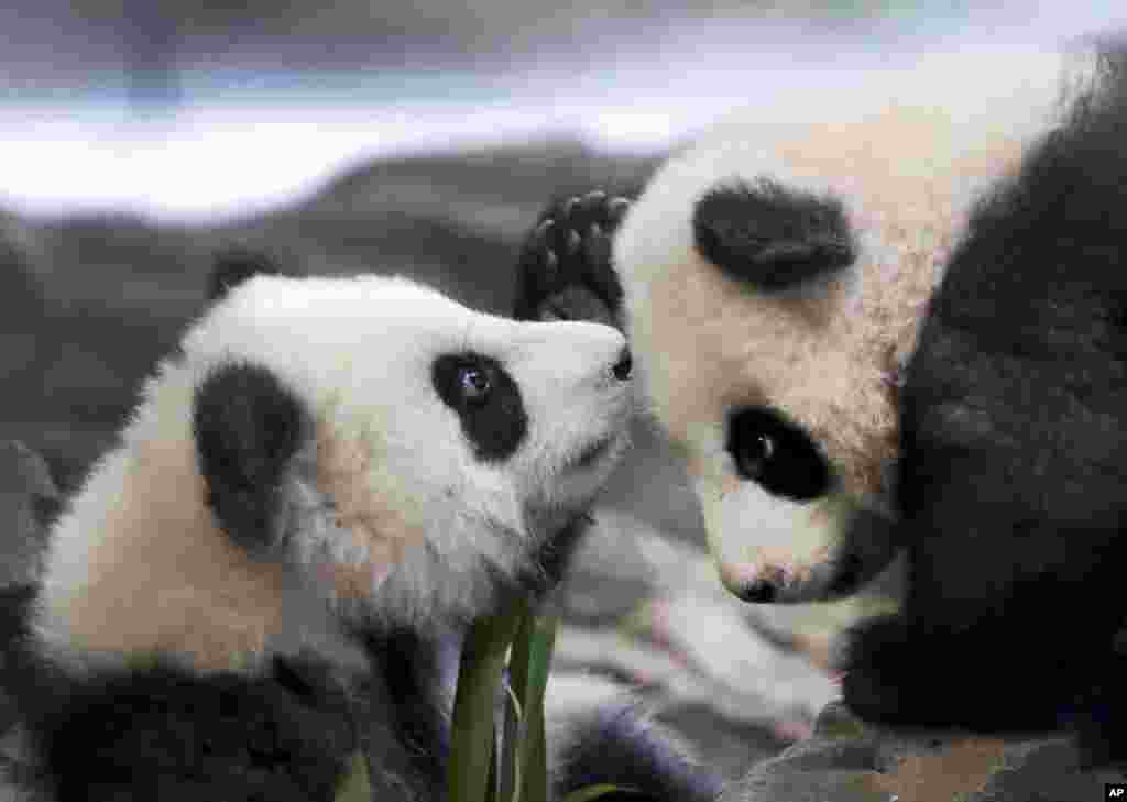 In this picture taken trough a window the young panda twins 'Meng Yuan' and 'Meng Xiang' explore their enclosure at the Berlin Zoo in Berlin, Germany.