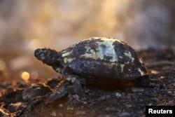 Manavgat'ta alevlerden kurtulamayan kaplumbağa