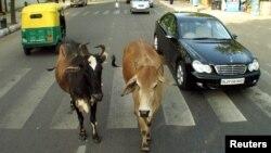 دہلی کی سڑکوں پر اس طرح کے مناظر عام دکھائی دیتے ہیں۔ شہر میں سڑکوں پر گھومے والی گائیوں کی تعداد 12000 سے زیادہ بتائی جاتی ہے۔