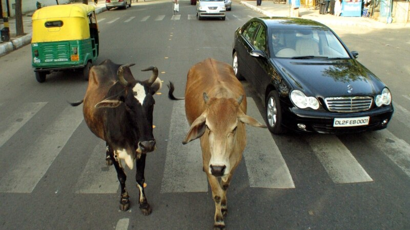 بھارت: بوڑھی گائیوں اور بوڑھے افراد کا مشترکہ شیلٹر ہوم