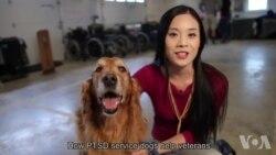 走进美国:PTSD治疗犬帮助战后老兵重获新生