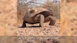 صحرائی کچھوؤں کی نسل خطرے میں ہے