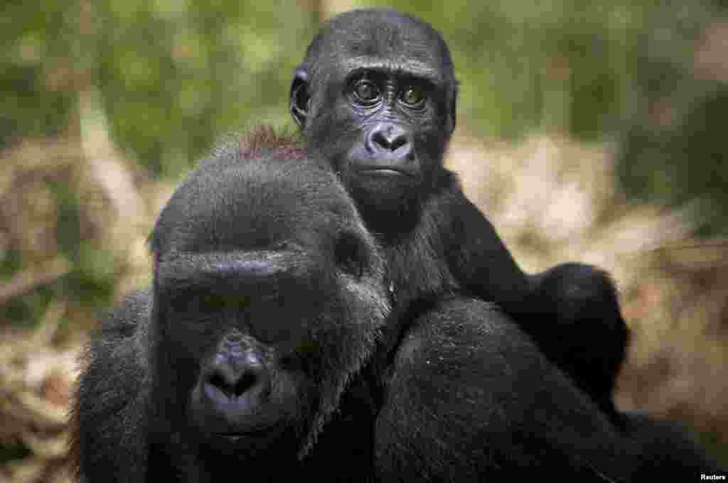 Gorilas, num parque nos Camarões