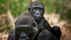 Quiz - More than Half of the World's Primates Disappearing