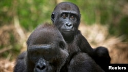 A baby lowland gorilla rides on his mother's back at the primate sanctuary run by the Cameroon Wildlife Aid Fund in Mefou National Park, just outside the capital Yaounde, March 21, 2009. During the women's Africa Cup of Nations football tournament in Cameroon, the Sports for Nature campaign will call attention to endangered animals.