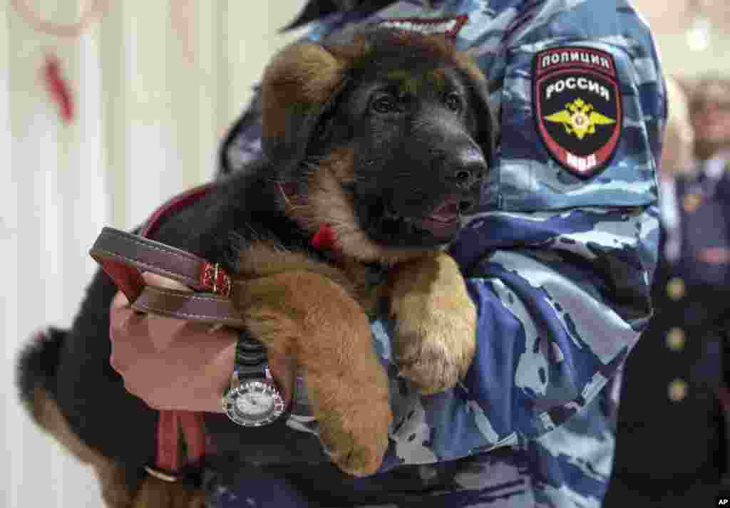 A Russian police officer holds a puppy, named Dobrynya, before presenting it to French police in the French Embassy in Moscow, Russia. Russian police puppy Dobrynya will take place of a French service dog Diesel which died in a special operation held in Paris on Nov. 18.