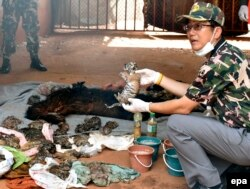 FILE - A Thai wildlife official displays carcasses of dead tiger cubs found during a raid at the Tiger Temple in Kanchanaburi Province, Thailand, 01 June 2016.