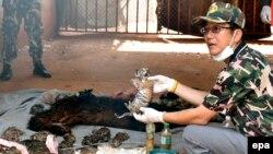 Xác một con hổ con phát hiện tại Đền Hổ ở tỉnh Kanchanaburi, Thái Lan, ngày 1/6/2016.