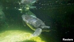 Las autoridades han implementado exitosas medidas como protección de playas, disminución de la captura de las tortugas por parte de los pescadores y la prohibición directa de matarlas, informó NOAA.