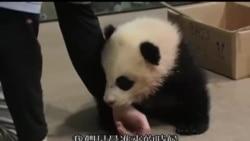 2014-01-08 美國之音視頻新聞: 熊貓寶寶將於1月18日公開亮相