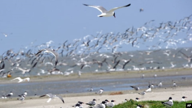 Raccoon Island, a protected bird breeding sanctuary south of Louisiana, is one of several islands being surveyed for oil debris.