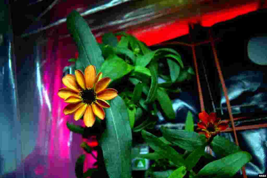 "On Jan. 16, 2016, Expedition 46 Commander Scott Kelly shared photographs of a blooming zinnia in the Veggie plant growth system aboard the International Space Station. Kelly wrote, ""Yes, there are other life forms in space! #SpaceFlower #YearInSpaceFlower."