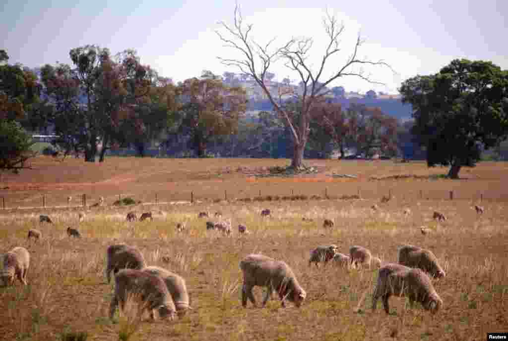 چرای گله گوسفندان در یک مرتع در استرالیا
