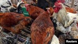 Chirwere che avian flu chakabata rimwe purazi iri pedyo neHarare zvaita kuti varimi vehuku varambidzwa kuratidza huku dzavo