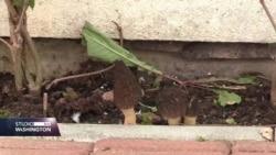 Građani Bratunca primjetili kako skupa gljiva raste ispred trgovine