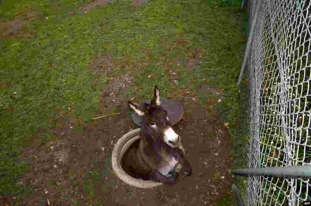 A donkey fell into a manhole in Pratteln near Basel, northern Switzerland, November 1, 2014. Only slightly injured, the animal was rescued from its awkward position by the local fire brigade.