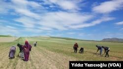Refugjatët sirianë duke punuar në një arë në Turqi