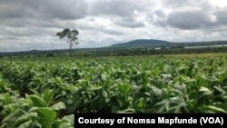 Tobacco Farm belonging to Nomsa Mapfunde. (Courtesy Image).