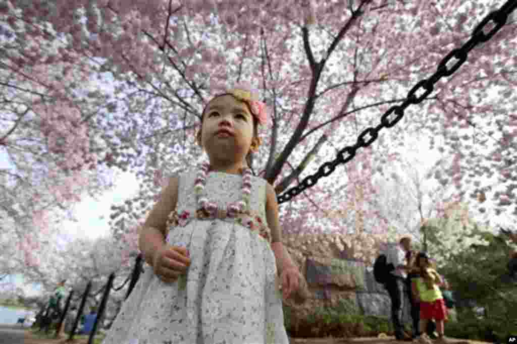 지난 8일 미국 워싱턴 타이들 베이신에서 관광객들의 벚꽃 구경이 한창인 가운데, 1살난 소녀가 벚꽃 나무를 올려다 보고 있다.