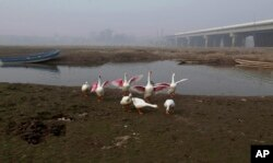Fowl gather along a backwater of the Ravi River, in Lahore, Pakistan, Dec. 14, 2016. Under the Indus Water Treaty, India has exclusive rights to three Indus basin rivers, including the Ravi, which has virtually disappeared on the Pakistani side.