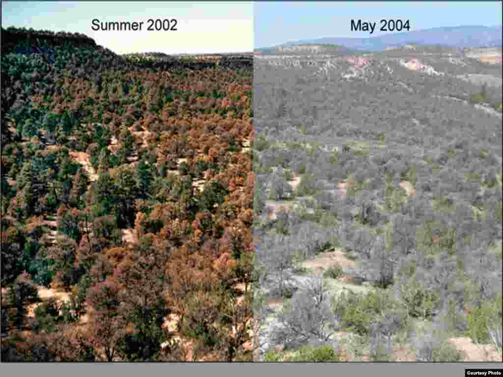 Scientists seek more data to better predict climate impacts on this pinyon pine grove in New Mexico and forests elsewhere around the globe. Photo credit: Craig Allen, USGS