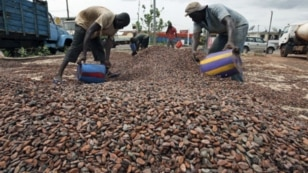 Workers gather cocoa beans in Ivory Coast