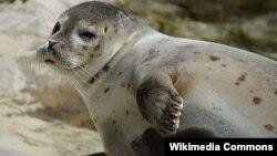 Anjing-anjing laut mampu tertidur hanya dengan separuh otak mereka dalam keadaan tidak sadar (foto: ilustrasi).