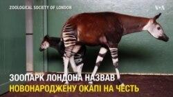 В зоопарку Лондона новонароджену окапі назвали на честь Мейґан Маркл. Відео