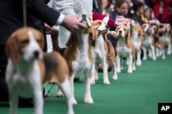 Beagles line up in the competition ring during the Westminster Kennel Club dog show, Feb. 10, 2014, in New York.