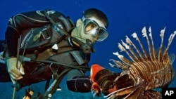 Lionfish are taking over coral reefs in the Caribbean and Atlantic. Here, Lad Akins catches one.